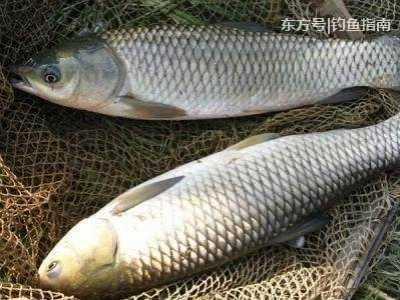 高手教你了解鱼的习性 草鱼丰胸