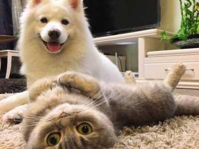 如何挑选辨别一只纯种萨摩耶幼犬 如何挑选萨摩耶幼犬