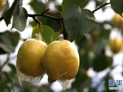 止咳吃哪种梨比较好 治咳嗽的梨是哪种梨