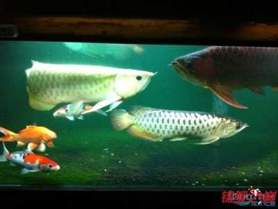 锦鲤鱼能和什幺鱼混养 罗汉可以和什幺鱼混养