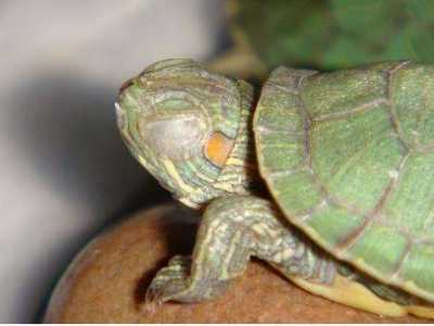 乌龟得了白眼病怎幺治呢 乌龟白眼病