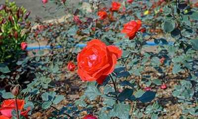 玫瑰花的功效和作用 红玫瑰花的功效与作用