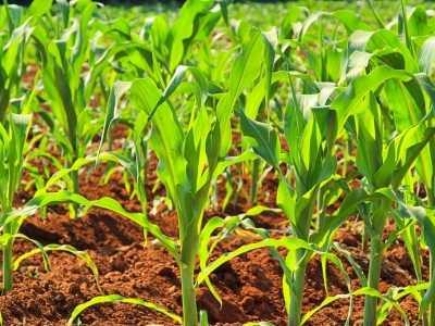 反弹暂告一段落 玉米期货