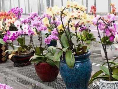 掌握以下这几个要点 蝴蝶兰的养护
