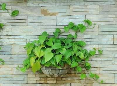 怎样种植绿萝 土培绿萝种植是要领-