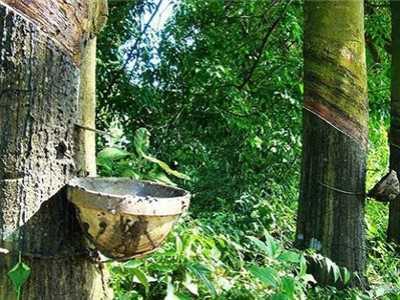 橡胶树的养殖方法和注意事项 橡皮树的养殖方法和注意事项