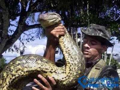 世界上最大的蟒蛇排行榜 世界最大的蟒蛇有多大