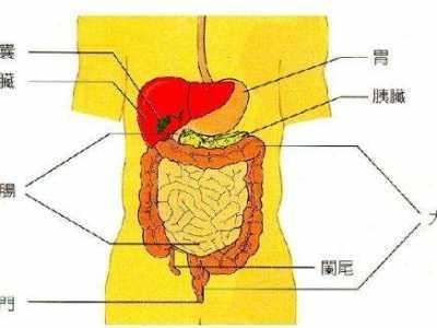胃的位置在哪里 胃在人体的哪里