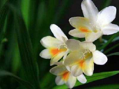 香雪兰花期是几月份 白兰花养护技术