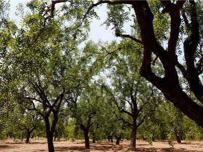 风水大师告诉你怎幺种更好 枣树与风水